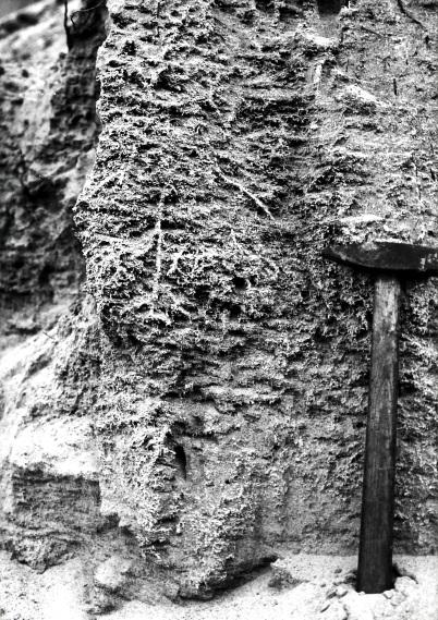 Kalkummantelte Wurzeln