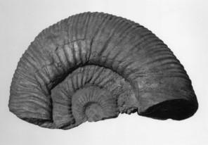 Simbirskites (Craspedodiscus) iburgensis (WEERTH 1884)