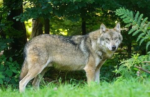 Europäischer Grauwolf (Canis lupus lupus)