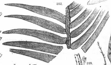 Zamites iburgensis HOSIUS & v. d. MARCK 1880